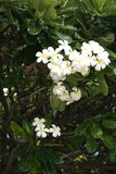 从Kona Hawii的白花 免版税库存照片