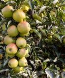 Konar pełno zieleni jabłka obraz stock