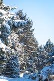 Konar sosna z śniegiem Bokeh, lekki dzień w zimie obraz royalty free