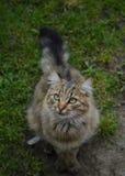 Koncentrera för katt Fotografering för Bildbyråer
