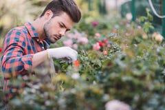 Koncentrerad trädgårdsmästare i skyddande handskar som kontrollerar växter under arbete i trädgård Arkivfoton
