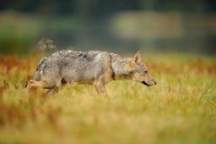 Koncentrerad varg i gult gräs Fotografering för Bildbyråer