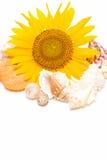 koncha słonecznik Fotografia Stock