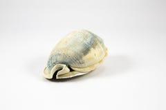 Konchy seashell zdjęcia royalty free