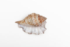 Konchy seashell Obraz Stock