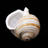 Konchy seashell na czarnym tle w studiu Zdjęcie Royalty Free