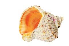 Konchy Seashell odizolowywający na bielu Obrazy Stock