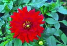 konditioneriner naturlig red för dahliablommor Arkivbild