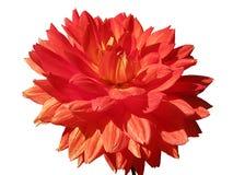 konditioneriner naturlig red för dahliablommor Royaltyfri Fotografi
