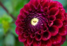 konditioneriner naturlig red för dahliablommor Arkivfoton