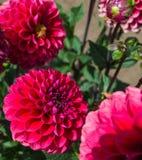 konditioneriner naturlig red för dahliablommor Fotografering för Bildbyråer