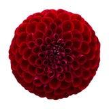 konditioneriner naturlig red för dahliablommor Royaltyfri Bild