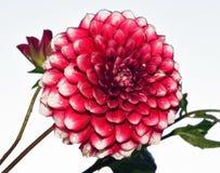konditioneriner naturlig red för dahliablommor Royaltyfri Foto