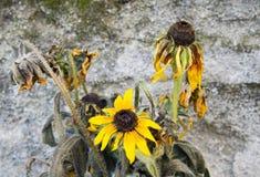 Kondolencje karta - żółty słonecznik Obrazy Royalty Free
