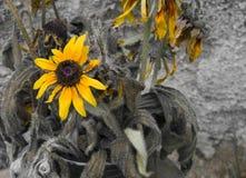 Kondolencje karta - żółty słonecznik Zdjęcie Stock