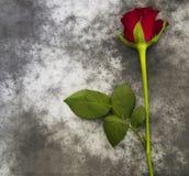 Kondolencje karta - czerwieni róża Zdjęcia Royalty Free