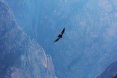 kondor Fotografia Royalty Free