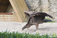 kondor andów, obrazy stock