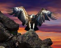 Kondor, der auf Stein gegen Sonnenunterganghimmel sitzt Stockfoto