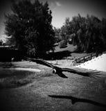 Kondor i flykten Royaltyfri Fotografi