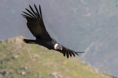 Kondor im Flug Stockbilder