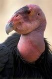 kondor kalifornii fotografia royalty free