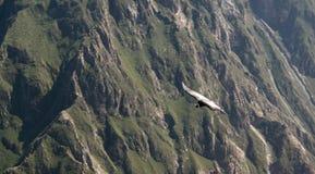 Kondor ovanför den Colca kanjonen på den kondorkors- eller Cruz Del Condor synvinkeln, Chivay, Peru Arkivbild