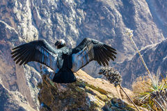 Kondor przy Colca jaru obsiadaniem, Peru, Ameryka Południowa. To jest kondor duży latający ptak na ziemi Obrazy Stock