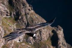 Kondora latanie w colca jarze Fotografia Stock