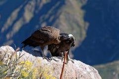 Kondore in Colca-Schlucht, Peru stockbilder
