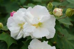 Konfederat róży kwiat fotografia royalty free
