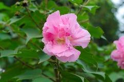 Konfederat róży kwiat fotografia stock