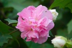 Konfederat róży kwiat zdjęcie stock