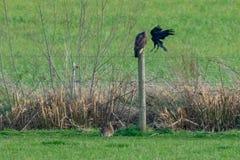 Konflikt in der Natur, da eine Krähe einen Bussard Buteo Buteo in Angriff nimmt, während ein Kaninchen fortfährt, Gras zu essen stockfotografie