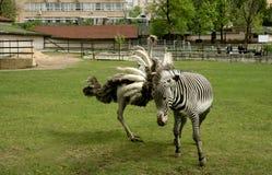Konflikt między strusiem i zebrą Zdjęcia Royalty Free