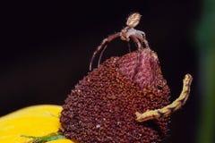 Konfrontation zwischen Spinne und Inchworm Lizenzfreies Stockfoto