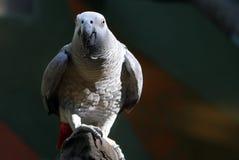 Kongo lub Afrykański popielaty papuzi Psittacus erithacus Zdjęcia Royalty Free