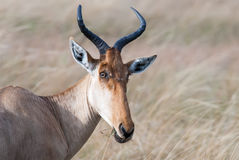 Kongoni portrait, cows antelope on the African savannah royalty free stock photo