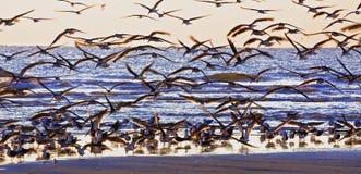 Kongregation av Seabirds Arkivbilder