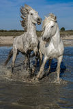 Koni biegać Zdjęcie Royalty Free