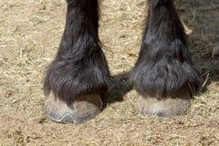 Koni kopyta Zdjęcia Stock