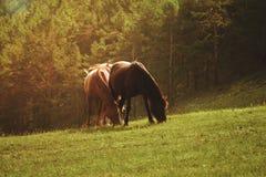 koni paśnika lato obrazy royalty free