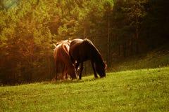 koni paśnika lato zdjęcie stock