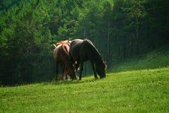 koni paśnika lato fotografia stock