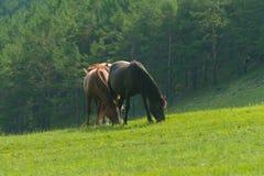 koni paśnika lato fotografia royalty free