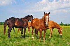koni paśnika lato Obraz Stock