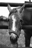 5 konia Zdjęcia Stock