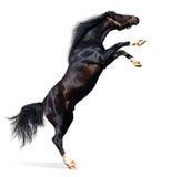 konia arabskiej odizolowane białe z tyłu Zdjęcia Royalty Free