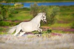 Konia bieg cwał zdjęcia stock
