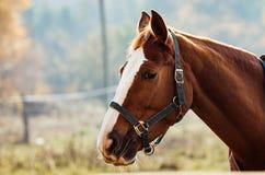 Konia di Portret Fotografia Stock Libera da Diritti